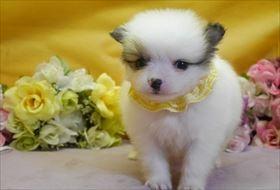 ポメラニアンの子犬(ID:1246711872)の1枚目の写真/更新日:2018-02-22