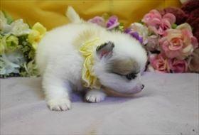 ポメラニアンの子犬(ID:1246711872)の2枚目の写真/更新日:2018-02-22