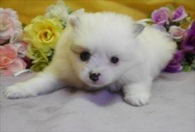 ポメラニアンの子犬(ID:1246711873)の1枚目の写真/更新日:2018-02-22