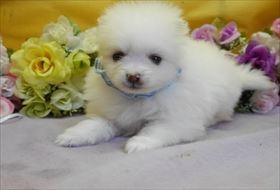 ポメラニアンの子犬(ID:1246711874)の1枚目の写真/更新日:2018-02-22