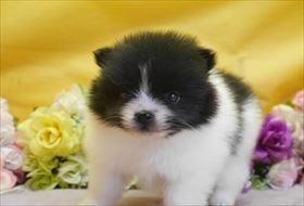 ポメラニアンの子犬(ID:1246711875)の1枚目の写真/更新日:2018-02-22