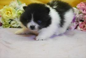 ポメラニアンの子犬(ID:1246711875)の2枚目の写真/更新日:2018-02-22