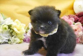 ポメラニアンの子犬(ID:1246711876)の1枚目の写真/更新日:2018-02-22