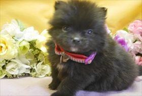 ポメラニアンの子犬(ID:1246711877)の1枚目の写真/更新日:2018-02-22