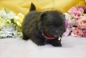 ポメラニアンの子犬(ID:1246711878)の1枚目の写真/更新日:2018-02-22