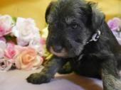 ミニチュアシュナウザーの子犬(ID:1246711879)の1枚目の写真/更新日:2018-03-11