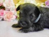 ミニチュアシュナウザーの子犬(ID:1246711880)の1枚目の写真/更新日:2018-03-11