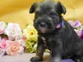 ミニチュアシュナウザーの子犬(ID:1246711881)の1枚目の写真/更新日:2018-03-11