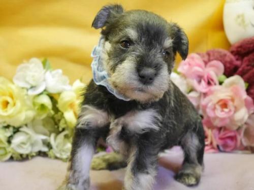 ミニチュアシュナウザーの子犬(ID:1246711882)の1枚目の写真/更新日:2018-03-11