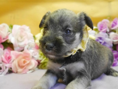 ミニチュアシュナウザーの子犬(ID:1246711883)の1枚目の写真/更新日:2018-03-11