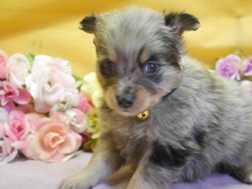 ポメラニアンの子犬(ID:1246711884)の1枚目の写真/更新日:2018-03-11