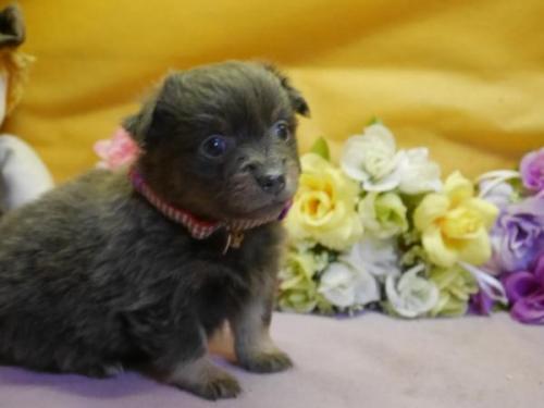 ポメラニアンの子犬(ID:1246711885)の1枚目の写真/更新日:2018-03-11