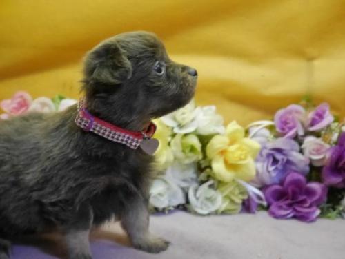 ポメラニアンの子犬(ID:1246711885)の2枚目の写真/更新日:2018-03-11