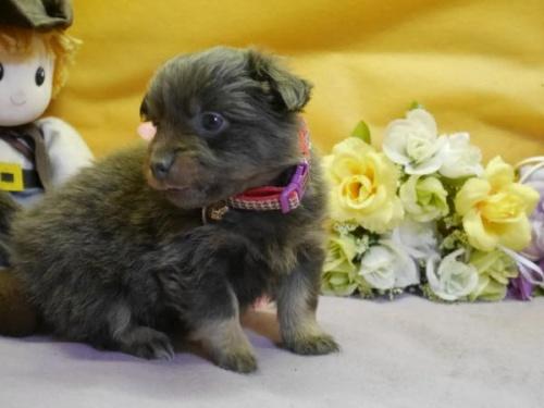 ポメラニアンの子犬(ID:1246711885)の3枚目の写真/更新日:2018-03-11