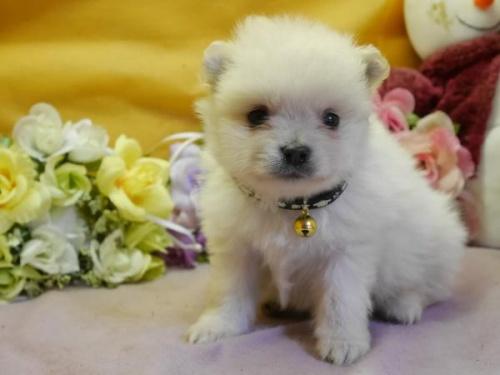 ポメラニアンの子犬(ID:1246711886)の2枚目の写真/更新日:2018-03-11
