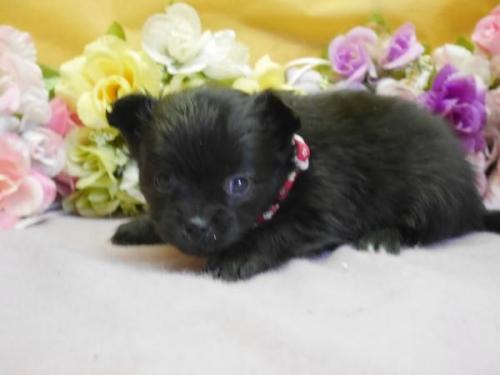 ポメラニアンの子犬(ID:1246711887)の1枚目の写真/更新日:2018-03-11