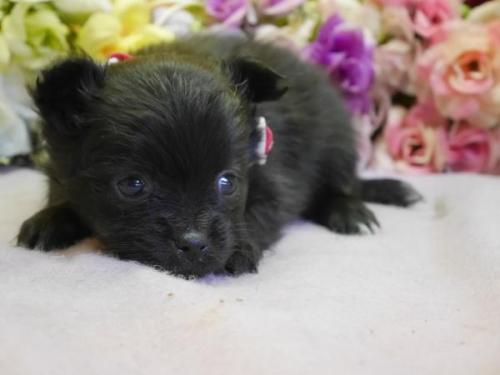 ポメラニアンの子犬(ID:1246711887)の2枚目の写真/更新日:2018-03-11