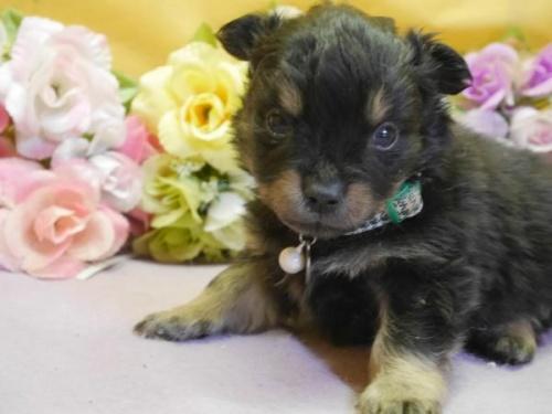 ポメラニアンの子犬(ID:1246711888)の1枚目の写真/更新日:2018-03-11