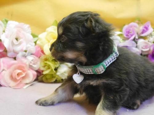 ポメラニアンの子犬(ID:1246711888)の2枚目の写真/更新日:2018-03-11
