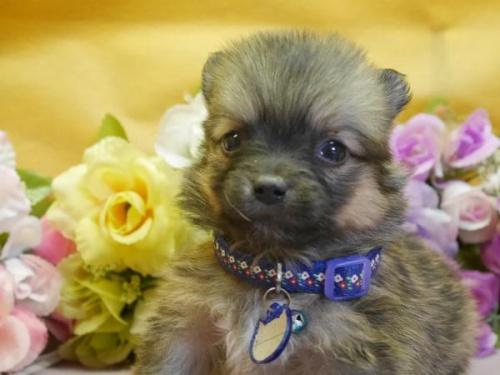 ポメラニアンの子犬(ID:1246711889)の1枚目の写真/更新日:2018-03-11