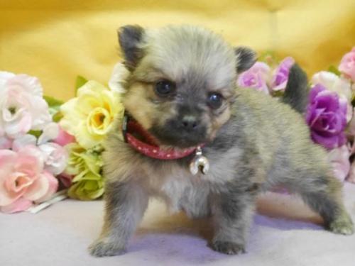 ポメラニアンの子犬(ID:1246711890)の1枚目の写真/更新日:2018-03-11
