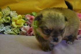 ポメラニアンの子犬(ID:1246711891)の1枚目の写真/更新日:2018-03-11