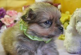 ポメラニアンの子犬(ID:1246711891)の2枚目の写真/更新日:2018-12-10