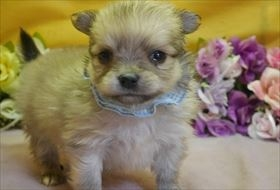 ポメラニアンの子犬(ID:1246711892)の1枚目の写真/更新日:2018-03-11