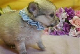 ポメラニアンの子犬(ID:1246711892)の2枚目の写真/更新日:2018-03-11