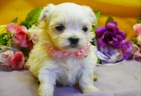 マルチーズの子犬(ID:1246711893)の1枚目の写真/更新日:2018-03-19