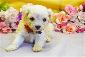 マルチーズの子犬(ID:1246711894)の1枚目の写真/更新日:2018-03-19