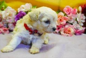 マルチーズの子犬(ID:1246711894)の2枚目の写真/更新日:2019-01-21