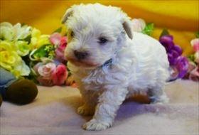 マルチーズの子犬(ID:1246711895)の1枚目の写真/更新日:2018-03-19