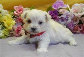 マルチーズの子犬(ID:1246711896)の1枚目の写真/更新日:2018-03-19