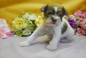 ミニチュアシュナウザーの子犬(ID:1246711897)の1枚目の写真/更新日:2018-03-19