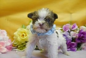 ミニチュアシュナウザーの子犬(ID:1246711898)の1枚目の写真/更新日:2018-03-19