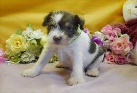 ミニチュアシュナウザーの子犬(ID:1246711899)の1枚目の写真/更新日:2018-03-19