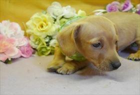 ミニチュアダックスフンド(スムース)の子犬(ID:1246711900)の1枚目の写真/更新日:2018-03-19