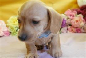 ミニチュアダックスフンド(スムース)の子犬(ID:1246711901)の2枚目の写真/更新日:2018-03-19