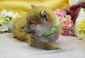 柴犬の子犬(ID:1246711902)の1枚目の写真/更新日:2018-03-28