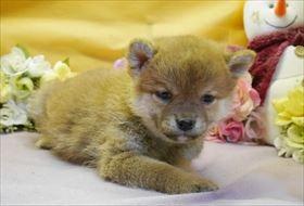 柴犬の子犬(ID:1246711902)の2枚目の写真/更新日:2018-03-28