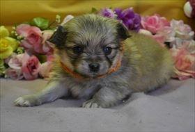 ポメラニアンの子犬(ID:1246711903)の1枚目の写真/更新日:2018-04-17