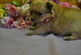 ポメラニアンの子犬(ID:1246711904)の1枚目の写真/更新日:2018-04-17
