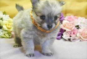 ポメラニアンの子犬(ID:1246711905)の1枚目の写真/更新日:2018-04-17