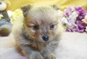 ポメラニアンの子犬(ID:1246711906)の1枚目の写真/更新日:2018-04-17