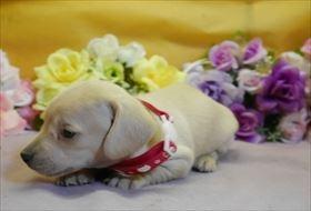 カニンヘンダックスフンド(スムース)の子犬(ID:1246711907)の1枚目の写真/更新日:2018-04-17