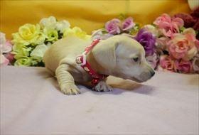 カニンヘンダックスフンド(スムース)の子犬(ID:1246711907)の2枚目の写真/更新日:2018-04-17