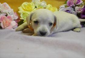 カニンヘンダックスフンド(スムース)の子犬(ID:1246711908)の1枚目の写真/更新日:2018-04-17