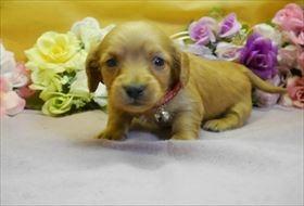カニンヘンダックスフンド(ロング)の子犬(ID:1246711909)の1枚目の写真/更新日:2018-04-17