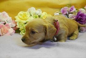 カニンヘンダックスフンド(ロング)の子犬(ID:1246711909)の2枚目の写真/更新日:2018-04-17